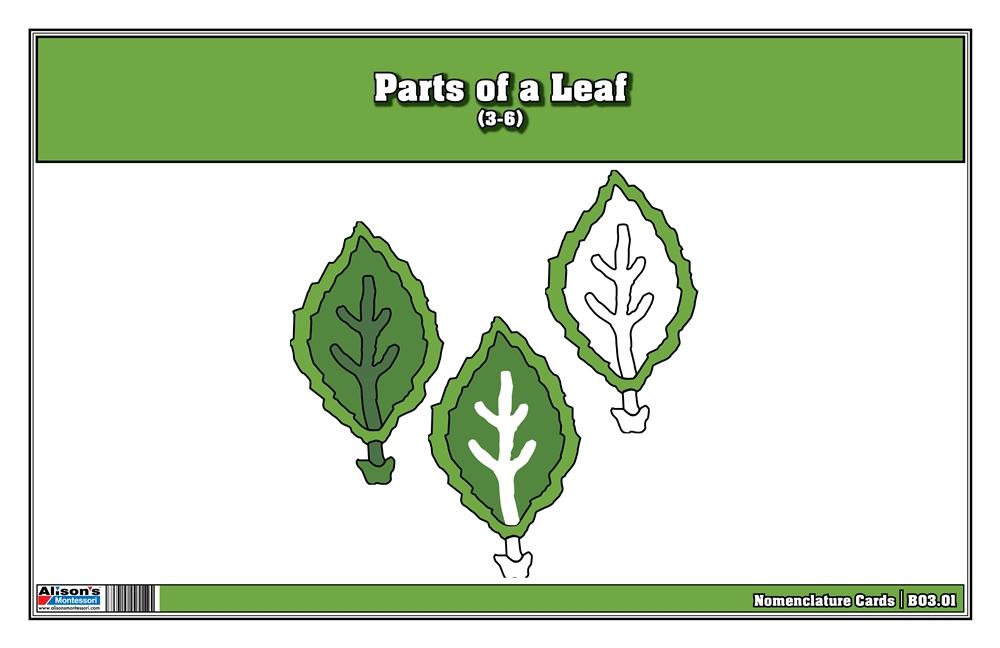 Montessori Materials Parts Of A Leaf Nomenclature Cards 3
