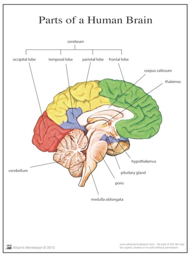 montessori materials parts of a human brain 36