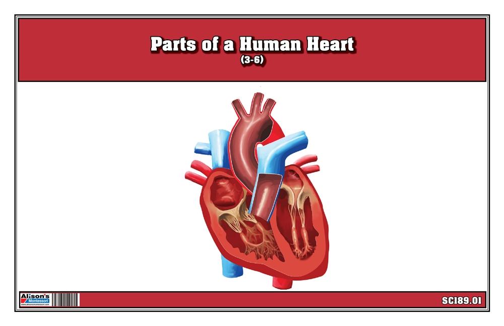Montessori Materials: Parts of a Human Heart 3-6