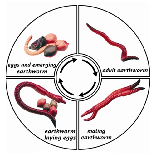 Pics Photos - Printable Earthworm Life Cycle Picture