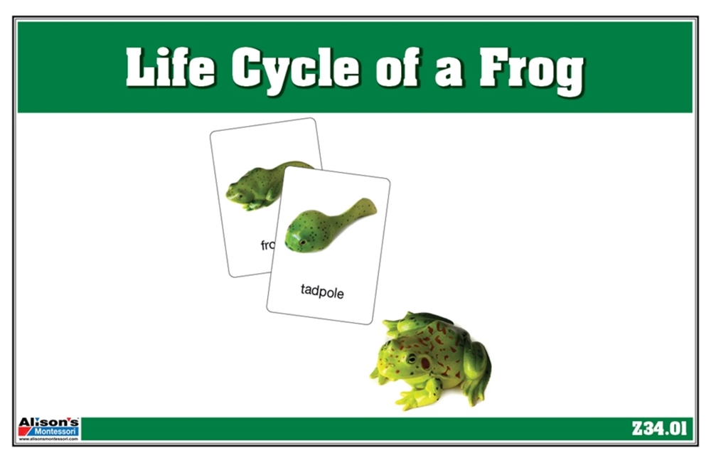 Montessori Materials Life Cycle of a Frog Nomenclature Cards