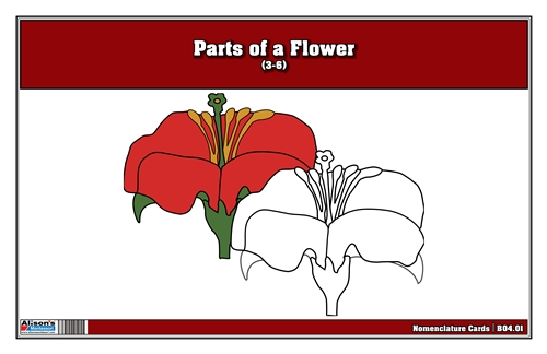 Parts of a Flower Nomenclature Cards 3-6 (Printed)