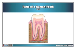 Parts of a Human Tooth 6-9