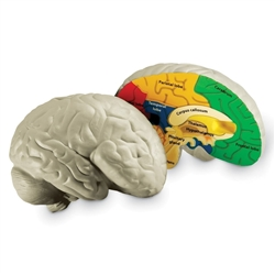 Cross Section Human Brain Model