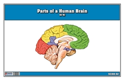Parts of a Human Brain (6-9)