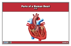 Parts of a Human Heart 3-6
