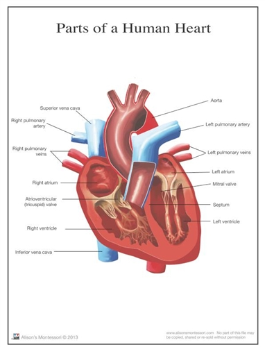 Montessori Materials: Parts of a Human Heart 3-6