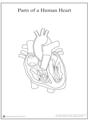 Montessori Materials: Parts of a Human Heart 6-9