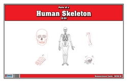 Parts of a Human Skeleton
