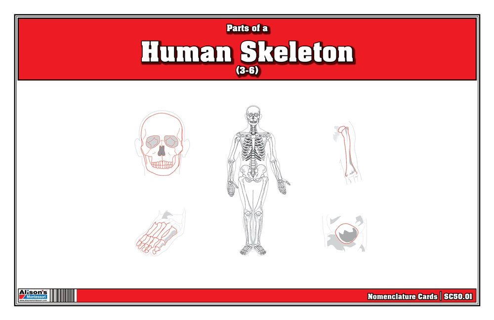 Montessori Materials: Parts of a Human Skeleton