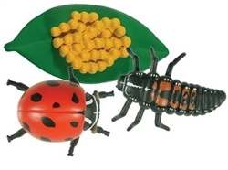 Life Cycle of a Ladybug Models