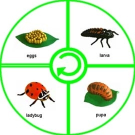 montessori materials life cycle of a ladybug cards