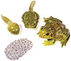 Life Cycle of a Frog Models