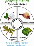 Life Cycle of a Praying Mantis Cards
